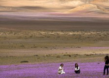 Mulher tira fotos em carpete de flores no Atacama - Fonte: www.telegraph.co.uk