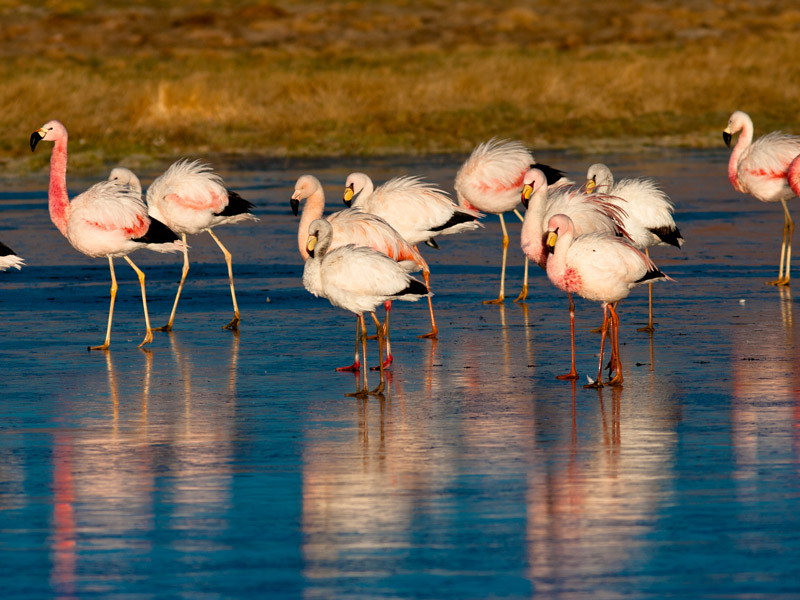Flamingos no Atacama